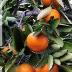 mandarins2